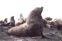 Steller Sea Lions, whose numbers have declined in recent years